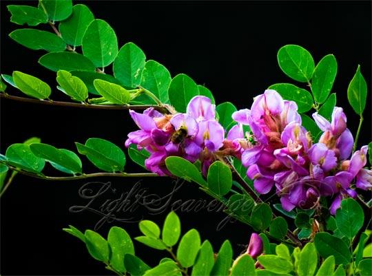 New Mexico Locust Blossoms