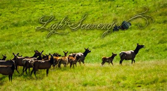 Elk Herd in Valle Grande