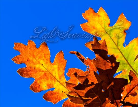 Backlit Scrub Oak Leaves