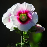 Backlit Hollyhock