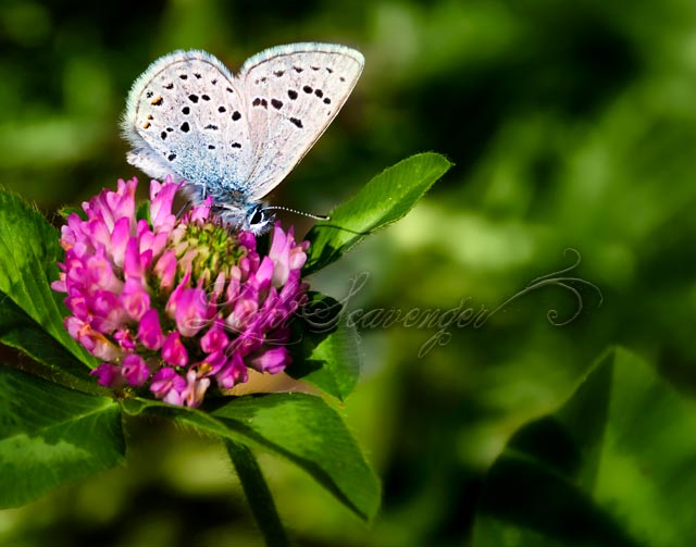 Greenish Blue Butterfly on pink clover