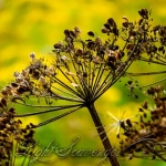 Dried Cow Parsnip