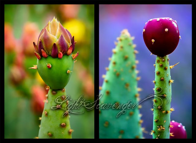 Prickly Pears: Spring and Fall