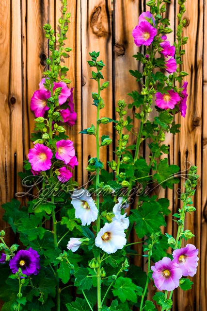 Hollyhocks along a fence