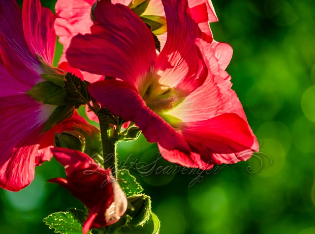Backlit Hollyhock Blossoms