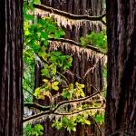 Coastal Redwoods, Northern California
