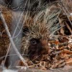 Porcupine in the Bosque