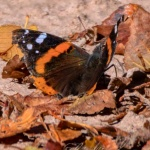Red Admiral, Fall Edition