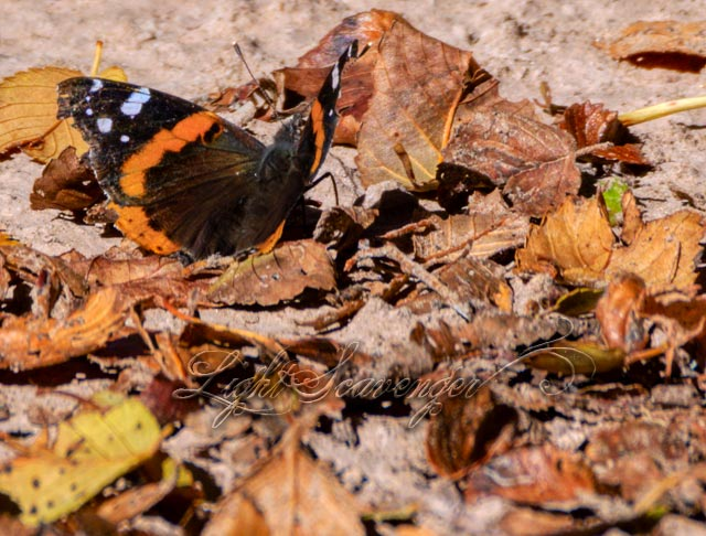 Red Admiral Amongst Fallen Leaves
