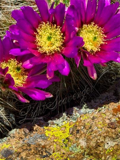 Cactus Blossoms and Lichen