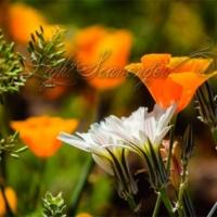 Poppies and Desert Chicory