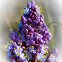 Beargrass Buds/Blossoms