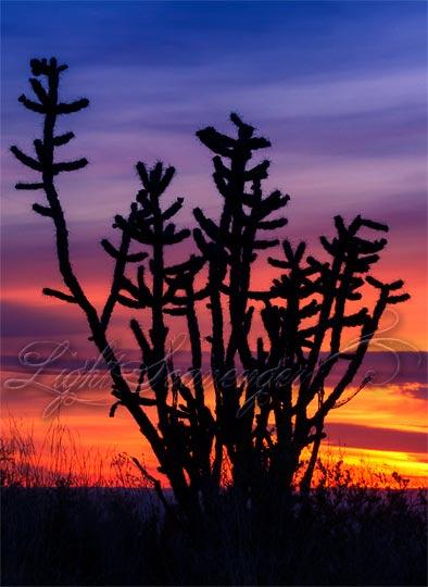 Cholla at Sunset