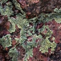 Granite/Lichen