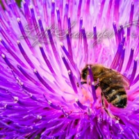 Thistle Blossom With Bee