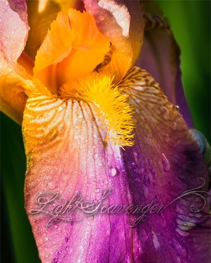 Yellow and Pink Iris
