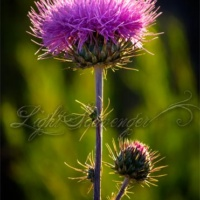 Yet Another Thistle