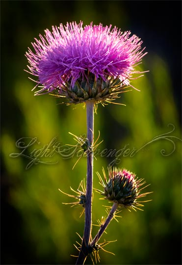 Backlit Bull Thistle