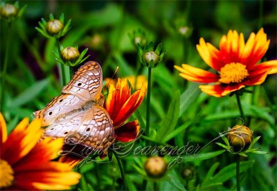 Botanic Garden: White Peacock Butterfly