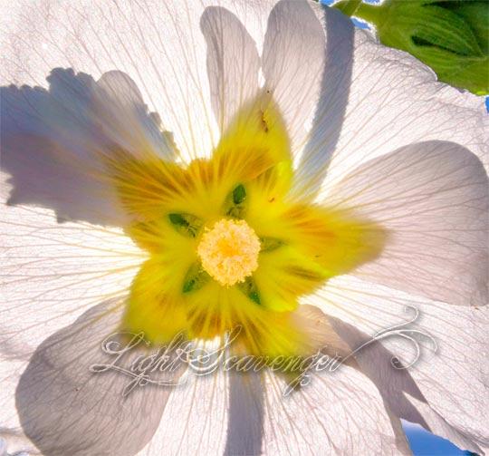 White Hollyhock Blossom