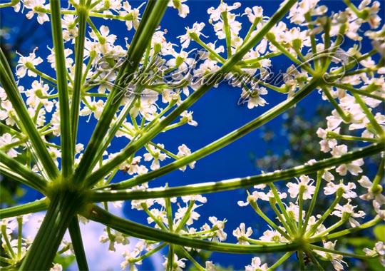 Flowering Osha
