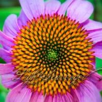 Echinacea (Cone Flower)