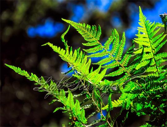 Backlit Ferns