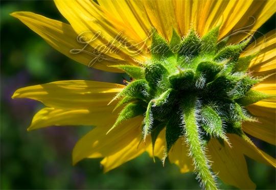 Sunflower Bract