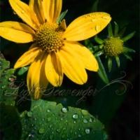 Coneflower with Raindrops