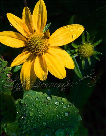 Coneflower and Raindrops