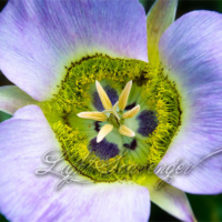 Pink/Lavender Mariposa Lily