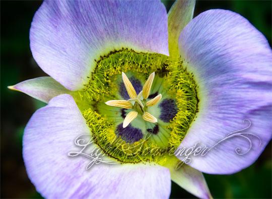 Pink/Lavender Mariposa Lily