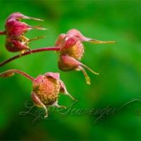 Thimbleberries