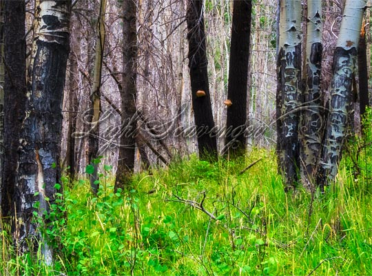 Burned Tree Trunks