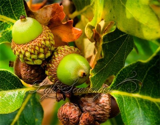 Scrub Oak Acorns