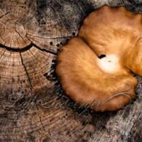 Mushroom in a Tree Stump