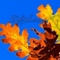 Scrub Oak Leaves