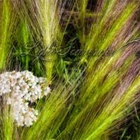 Yarrow in Blowing Grass