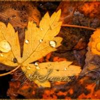 Fallen Leaves in a Stream