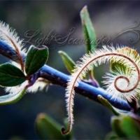 Mountain Mahogany Seedlings