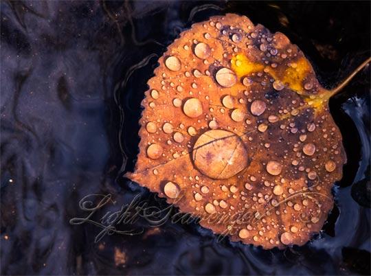 Aspen Leaf in Water
