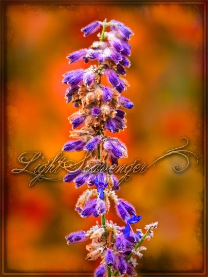 Russian Sage in Fall