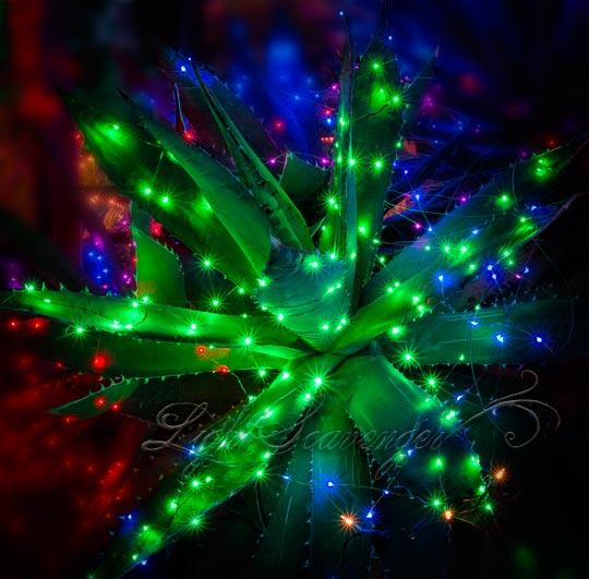 Agave with Christmas Lights