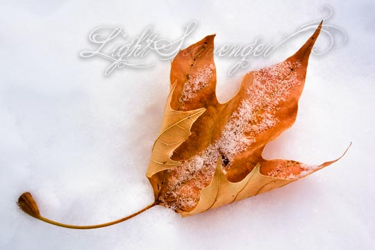 Sycamore Leaf in Snow