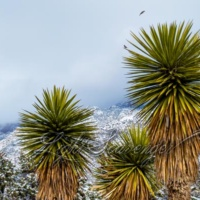 Yuccas and Snow
