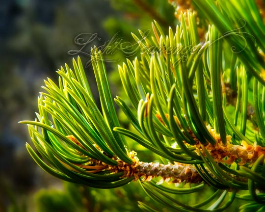 New Conifer Growth