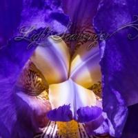 Purple Iris: Details