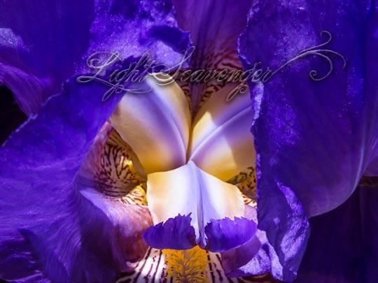Purple Iris Detail