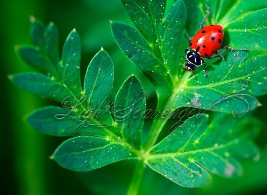 A ladybug on an osha leaf