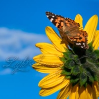 Sunflower and Painted Lady